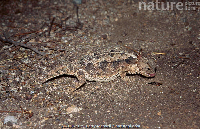 Texas horned lizard feeding on ants {Phrynosoma cornutum} C Sonora Mexico, CAPTIVE,DESERTS,LIZARDS,REPTILES,CENTRAL AMERICA,REPTILES,INSECT,CENTRAL,NIGHT,AMERICA,INSECTS,DESERT,SONORAN,INVERTEBRATES,USA,North America, Barry Mansell