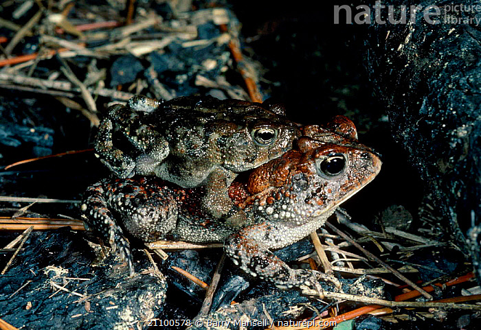 Southern toads mating {Bufo terrestris} C USA, NORTH,PAIR,REPRODUCTION,AMERICA,AMPHIBIANS,AMPHIBIANS,FEMALES,MALES,MALE FEMALE PAIR,ANURA,TOADS, Barry Mansell