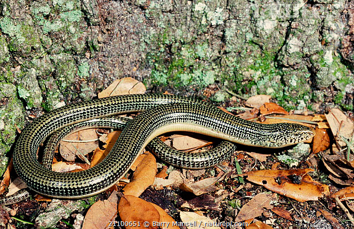 Eastern glass lizard {Ophisaurus ventralis} Florida USA, AMERICA,REPTILES,NORTH,REPTILES,LIZARDS, Barry Mansell