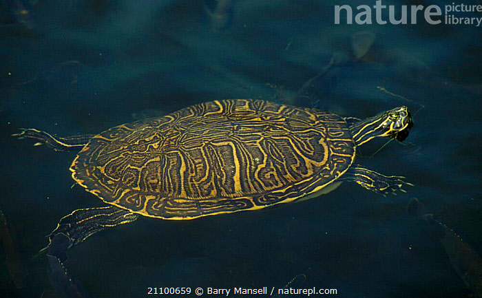 Peninsular cooter swimming {Pseudemys floridana peninsularis} USA, REPTILES,AMERICA,TORTOISES,REPTILES,NORTH,TURTLES,COOTERS,TERRAPIN, Barry Mansell