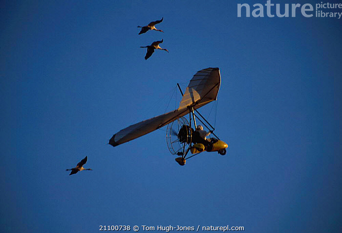 Imprinted Whooping cranes flying behind microlite {Grus americana} migration down eastern USA, AIRCRAFT,IMPRINTED,GROUPS,PROGRAMME,CONSERVATION,THREATENED,WATERFOWL,2003,FLIGHT,WILDFOWL,BIRDS,BIRDS,AIRCRAFT,FOLLOWING,NORTH AMERICA,ENDANGERED,, Tom Hugh-Jones