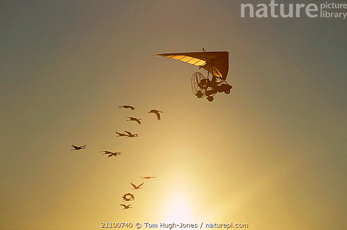 Imprinted Whooping cranes flying behind microlite {Grus americana} migrating south down eastern USA. 2003, BIRDS,IMPRINTED,NORTH AMERICA,THREATENED,WATERFOWL,ENDANGERED,MIGRATING,PROGRAMME,GROUPS,HAND REARED,FOLLOWING,PLANE,BIRDS,AIRCRAFT,FLIGHT, Tom Hugh-Jones