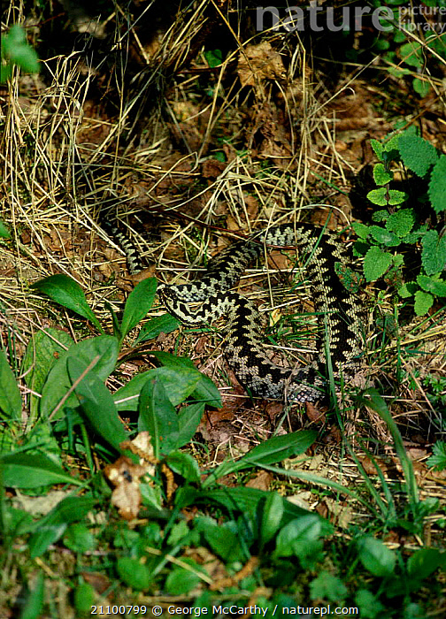 Male adder basking showing body flattened to maximise suns rays {Vipera berus} UK, VIPERS,MALES,EUROPE,SNAKES,WARMTH,THERMOREGULATION,BLOODED,MORNING,COLD,REPTILES,SUN,REPTILES,WARM, ADDERS, George McCarthy