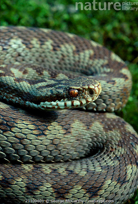 Juvenile adder portrait {Vipera berus} Surrey UK 1993, REPTILES,REPTILES,SKIN,SNAKES,HEADS,SNAKES,EYES,IMMATURE,PORTRAITS,VIPERS, ADDERS, George McCarthy