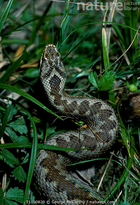 Behind view of adult Adder showing pattern {Vipera berus} Surrey UK, VIPERS,ENGLAND,BACK,REPTILES,SNAKES,GROUND,HEADS,SKIN,SNAKES,EUROPE,REPTILES,PATTERNS, ADDERS, George McCarthy