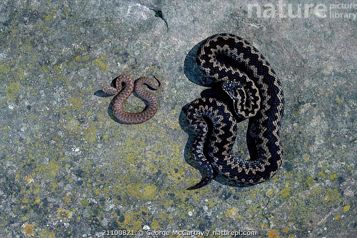 Adder with young showing size and markings difference {Vipera berus} Surrey UK, FAMILIES,REPTILES,TWO,REPTILES,DIFFERENCES,SNAKES,VIPERS,FAMILY,SNAKES,ENGLAND,EUROPE,JUVENILE,PATTERNS,IMMATURE, ADDERS, George McCarthy