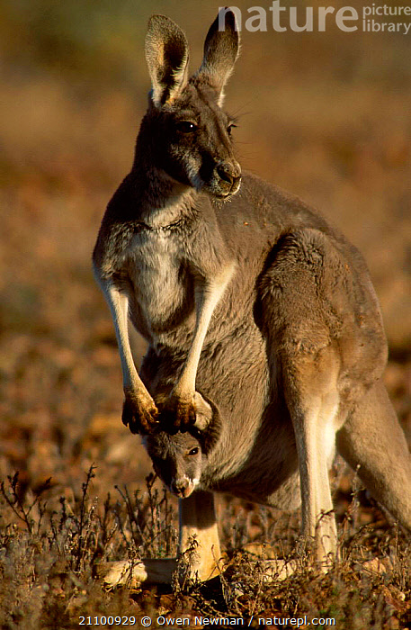 Red kangaroo female with joey in pouch {Macropus rufus} Sturt NP New South Wales Australia, CARRYING,FAMILIES,MAMMAL,OUTBACK,CUTE,MARSUPIAL,MARSUPIALS,RESERVE,KANGAROOS,MOTHER,SPENDS,INFANT,FAMILY,FEMALES,YOUNG,JUVENILE,DAYS,NATIONAL,MAMMALS,PARK, Owen Newman