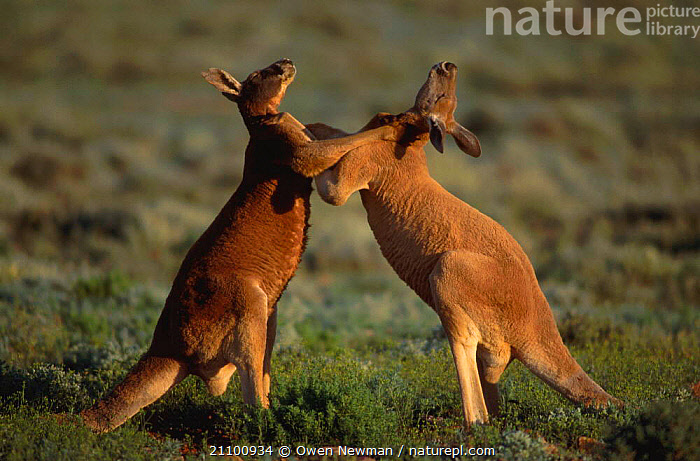 Male Red kangaroos fighting for dominance {Macropus rufus} Sturt NP NSW Australia, TWO,WALES,NATIONAL,AGGRESSION,AGGRESSIVE,FIGHTS,PARK,TERRITORIAL,MARSUPIALS,RESERVE,BEHAVIOUR,NEW,SOUTH,FIGHT,COMBAT,INTERACTION,MALES,MARSUPIAL,MAMMALS,EUROPE,CONCEPTS, Owen Newman