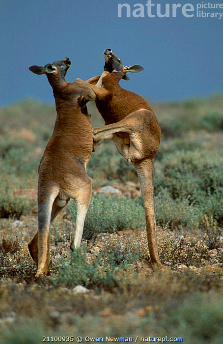 Male Red kangaroos fighting for dominance {Macropus rufus} Sturt NP, NSW Australia, RESERVE,PARK,ACTION,LEGS,MARSUPIAL,AGGRESSION,TWO,MARSUPIALS,NEW,KICKING,MAMMALS,AGGRESSIVE,NATIONAL,SOUTH,INTERACTION,MAMMAL,MALES,WALES,Europe,Concepts, Owen Newman