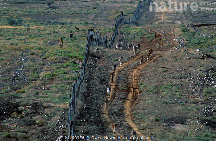 Red kangaroos separated by dingo fence {Macropus rufus} Sturt NP NSW Australia worlds, FENCES,BOUNDARY,WILD,POPULATION,GROUPS,NATIONAL,RESTRICTIONS,MAMMALS,RESERVE,MARSUPIAL,MARSUPIALS,MOVING,PARK,GROUP,HIGHER,ROOS,BOUNDARIES,LANDSCAPES,TRAVELLING,BARRIER, Owen Newman