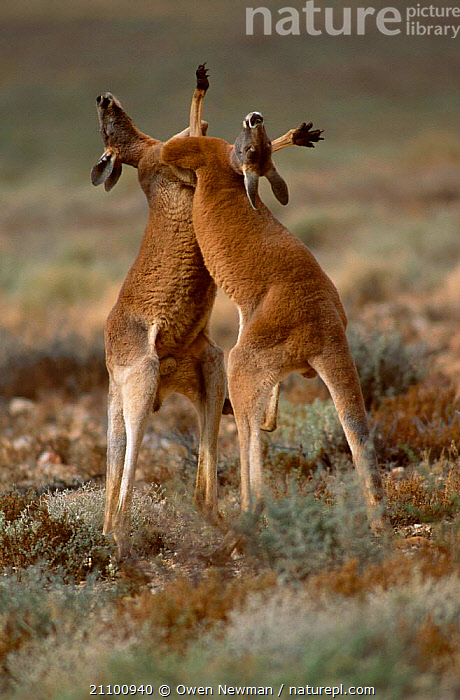Male Red kangaroos fighting {Macropus rufus} Sturt NP New South Wales Australia, ACTION,FIGHT,AGILE,TWO,DOMINANCE,MARSUPIALS,NATIONAL,AGGRESSIVE,MALES,STRENGTH,AGGRESSION,KICKING,PARK,INTERACTION,MARSUPIAL,RESERVE,MAMMALS,CONCEPTS, Owen Newman