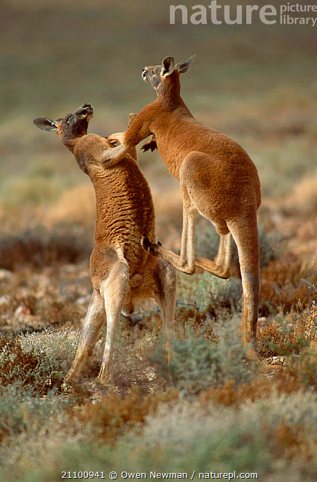 Male Red kangaroos fighting {Macropus rufus} Sturt NP, New South Wales Australia, AGGRESSIVE,FIGHT,DOMINANCE,MAMMALS,RESERVE,MARSUPIALS,NATIONAL,MARSUPIAL,INTERACTION,STRENGTH,AGILE,MALES,TWO,PARK,MAMMAL,ACTION,AGGRESSION,KICKING,Concepts, Owen Newman
