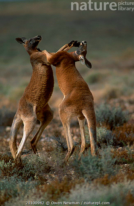 Male Red kangaroos fighting {Macropus rufus} Sturt NP, New South Wales Australia, MARSUPIALS,MARSUPIAL,NATIONAL,DOMINANCE,MAMMAL,TWO,AGILE,INTERACTION,MAMMALS,KICKING,PARK,ACTION,AGGRESSION,AGGRESSIVE,MALES,RESERVE,FIGHT,STRENGTH,Concepts,Catalogue1, Owen Newman