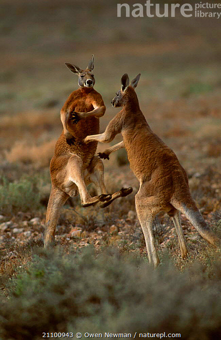 Male Red kangaroos fighting {Macropus rufus} Sturt NP New South Wales Australia, RESERVE,MARSUPIAL,PARK,AGGRESSION,AGILE,STRENGTH,AGGRESSIVE,FIGHT,DOMINANCE,MAMMALS,MALES,ACTION,TWO,KICKING,INTERACTION,MARSUPIALS,NATIONAL,CONCEPTS, Owen Newman