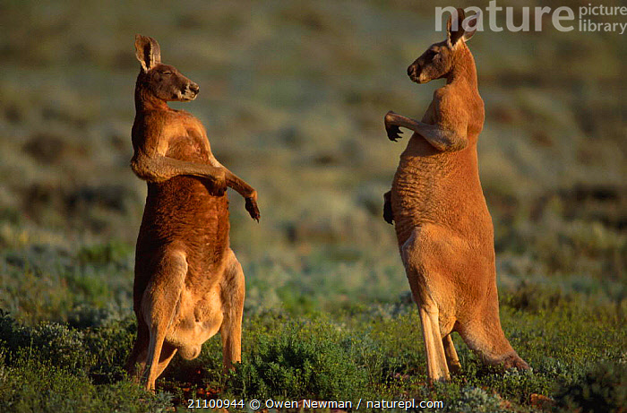 Male Red kangaroos about to fight {Macropus rufus} Sturt NP New South Wales Australia, AGGRESSION,PARK,AGGRESSIVE,FIGHTING,STANDOFF,RESERVE,TWO,MARSUPIAL,NATIONAL,DOMINANCE,INTERACTION,MALES,MARSUPIALS,MAMMALS,CONCEPTS, Owen Newman