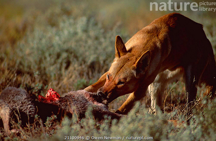 Dingo feeding on kangaroo {Canis dingo} Sturt NP New South Wales Australia, PREY,CARNIVORES,NATIONAL,DOGS,RESERVE,CANIDS,CARNIVORE,PARK,MAMMALS,CANIDS, Owen Newman