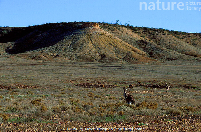 Red kangaroos feeding in open grassland {Macropus rufus} Sturt NP New South Wales Australia, FAMILY,MARSUPIAL,GROUPS,LANDSCAPES,GRAZING,GROUP,FAMILIES,NATIONAL,OUTBACK,MAMMALS,PARK,RESERVE,MARSUPIALS, Owen Newman