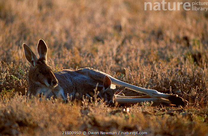 Female Red kangaroo with joey lying down {Macropus rufus} Sturt NP New South Wales, GROUND,YOUNG,CUTE,FEMALES,NATIONAL,RECLINED,KANGAROOS,PARK,FAMILIES,RESERVE,RESTING,MOTHER,MAMMALS,MARSUPIALS,AUSTRALIA,FAMILY,REST,BABY,RELAXING,MARSUPIAL,MATERNAL, Owen Newman