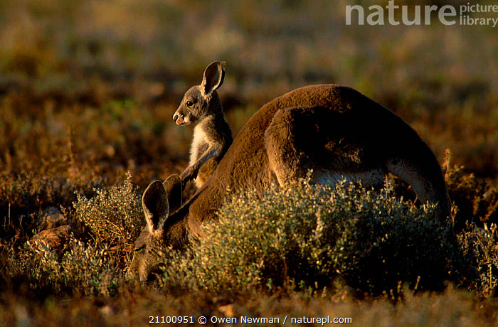 Female Red kangaroo with joey feeding {Macropus rufus} Sturt NP, New South Wales, Australia, NATIONAL,CUTE,FAMILIES,YOUNG,BEHAVIOUR,KANGAROOS,MAMMALS,RESERVE,JUVENILE,BABY,NEW SOUTH WALES,PARK,MOTHER,HABITAT,MARSUPIALS, Owen Newman