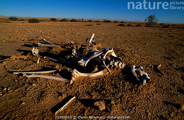 Bone remains of Red kangaroo {Macropus rufus} Sturt NP New South Wales Australia, BODY,DEAD,KANGAROOS,DEATH,PARK,BONES,RESERVE,NATIONAL,MARSUPIAL,MAMMALS,DIED,MARSUPIALS,SKELETON, Owen Newman