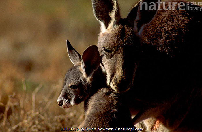 Female Red kangaroo with joey {Macropus rufus} Sturt NP New South Wales Australia, AFFECTIONATE,FAMILY,NATIONAL,AFFECTION,PARK,FAMILIES,RESERVE,CUTE,MARSUPIAL,YOUNG,KANGAROOS,MARSUPIALS,FEMALES,MAMMALS,MOTHER,FACES,HEADS,CONCEPTS, Owen Newman