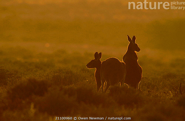 Male and female Red kangaroo at sunset {Macropus rufus} Sturt NP New South Wales Australia, MALES,DUSK,PARK,TWO,EVENING,KANGAROOS,FEMALES,MAMMALS,PAIR,RESERVE,MARSUPIAL,NATIONAL,MALE FEMALE PAIR,MARSUPIALS, Owen Newman