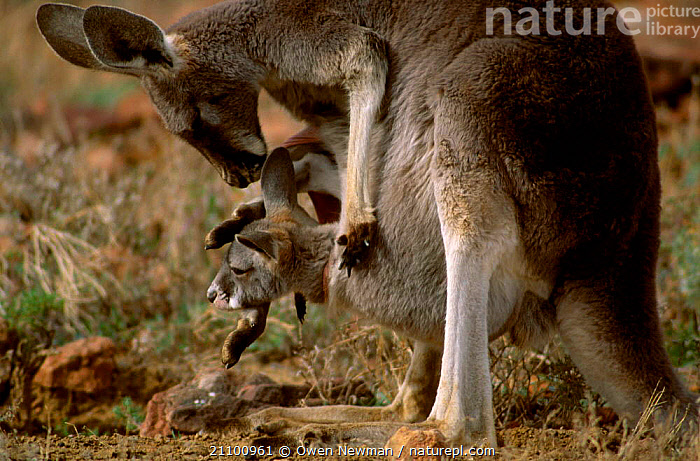 Female Red kangaroo ting to joey in pouch {Macropus rufus} Sturt NP New South Wales, MARSUPIALS,CARRYING,FEMALES,YOUNG,JUVENILE,CUTE,KANGAROOS,MOTHER,FAMILIES,MATERNAL,MARSUPIAL,RESERVE,FAMILY,BABY,MAMMALS,NATIONAL,PARK,AUSTRALIA, Owen Newman