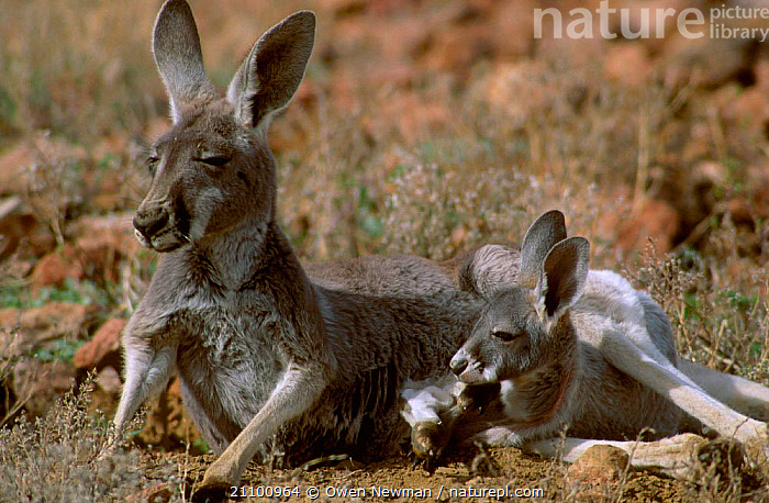 Female Red kangaroo at rest with joey {Macropus rufus} Sturt NP New South Wales Australia, MARSUPIAL,JUVENILE,GROUND,MARSUPIALS,RESERVE,YOUNG,FAMILY,MOTHER,NATIONAL,PARK,RESTING,KANGAROOS,MAMMALS,TWO,LYING,RELAXING, Owen Newman