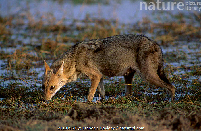 Female Golden jackal drinking {Canis aureus} Ranthambhore NP Rajasthan India, WATER,CARNIVORES,FEMALES,INDIAN SUBCONTINENT,JACKALS,MAMMALS,CARNIVORE,NATIONAL,RESERVE,WETLANDS,CANIDS,PARK,CANIDS,ASIA,DOGS, Francois Savigny