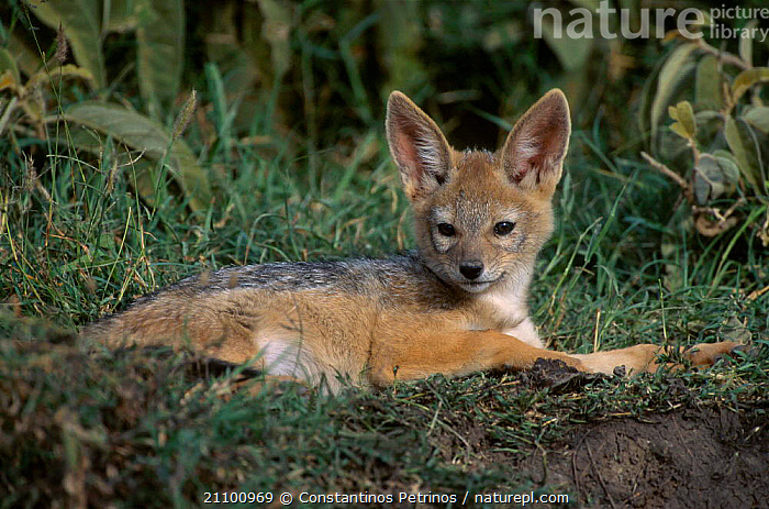 Golden jackal cub at rest {Canis aureus} Masai Mara NR Kenya East Africa, CARNIVORES,CUTE,JACKALS,JUVENILE,EAST AFRICA,MAMMALS,YOUNG,CUBS,MAASAI,BABY,CANIDS,RESERVE,RESTING,CANIDS,NATIONAL,CARNIVORE,AFRICA,DOGS, Constantinos Petrinos