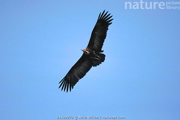 Hooded vulture in flight {Necrosyrtes monachus} Gambia West Africa, VULTURES,WINGS,WEST AFRICA,WINGSPAN,BIRDS,BIRDS,FLYING,AFRICA, Mike Wilkes