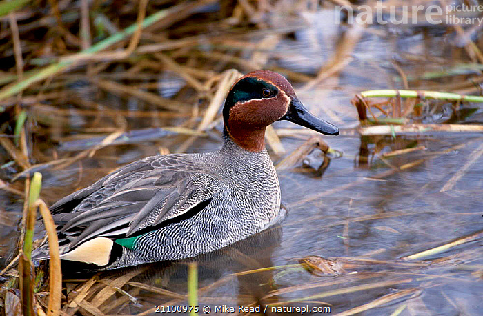 Common teal {Anas crecca} Avon Hampshire UK, ENGLAND,DUCKS,DUCKS,EUROPE,WETLANDS,WATERFOWL,WETLANDS, Mike Read