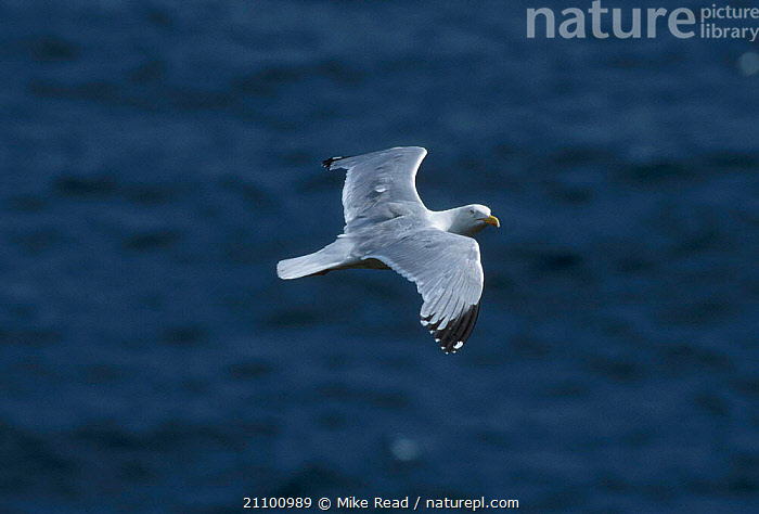 Herring gull flying {Larus argentatus} Isle of Man UK, SEABIRDS,WINTER,EUROPE,ENGLAND,SEAGULLS,BIRDS,GULLS,SEAGULLS,BIRDS,SEABIRDS, Mike Read