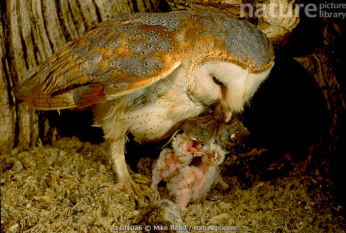 Barn owl brings prey to chicks in nest {Tyto alba} UK, BIRDS,CHICK,ENGLAND,FAMILIES,BABIES,EUROPE,RODENTS,BIRDS,FAMILY,RODENTS,NESTS,BIRDS OF PREY,OWLS,MAMMALS,RAPTOR, Mike Read