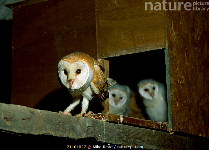 Barn owl family at nest box entrance {Tyto alba} UK, CHICKS,EUROPE,BABIES,BIRDS OF PREY,PREY,ENGLAND,BIRDS,NESTS,OWLS,FAMILIES,RAPTOR, Mike Read