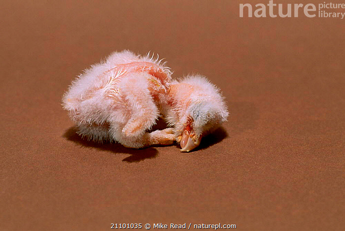 Barn owl chick 24-hrs-old {Tyto alba}, BIRDS,GROWTH,OWLS,SEQUENCE,BABY,BIRDS OF PREY,CHICKS,BABIES,PREY,CONCEPTS,RAPTOR, Mike Read