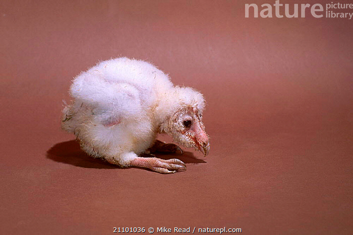 Barn owl chick 3-4 weeks-old {Tyto alba}, BIRDS,OWLS,PREY,GROWTH,BIRDS OF PREY,BIRDS,BABY,SEQUENCE,CHICKS,BABIES,CONCEPTS,RAPTOR, Mike Read