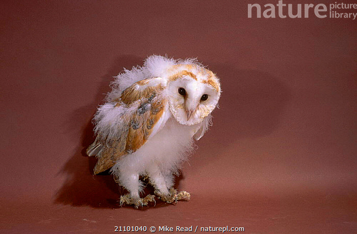 Barn owl chick 9-10 weeks-old {Tyto alba}, BIRDS,PREY,JUVENILE,SEQUENCE,BIRDS,OWLS,BABY,GROWTH,BABIES,CHICKS,BIRDS OF PREY,FLEDGLINGS,CONCEPTS,RAPTOR, Mike Read