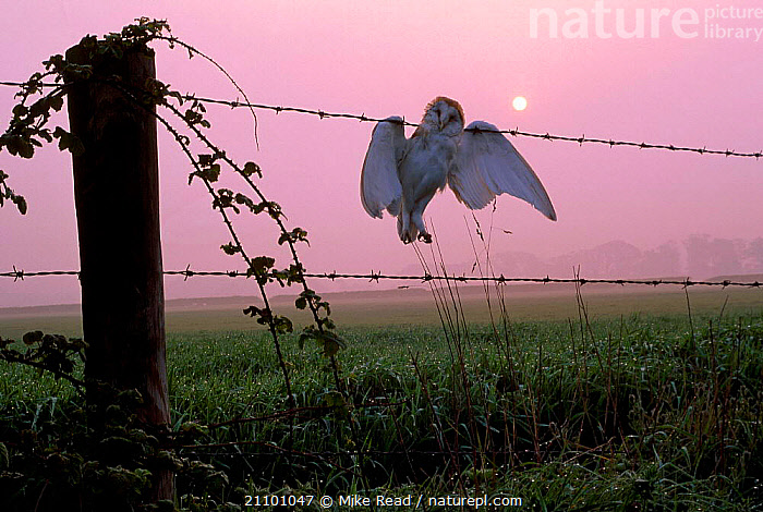 Barn owl {Tyto alba} dead bird on barbed wire fence UK, BIRDS OF PREY,DEATH,BIRDS,PREY,EUROPE,HAZARD,FARMLAND,ENGLAND,OWLS,RAPTOR, Mike Read