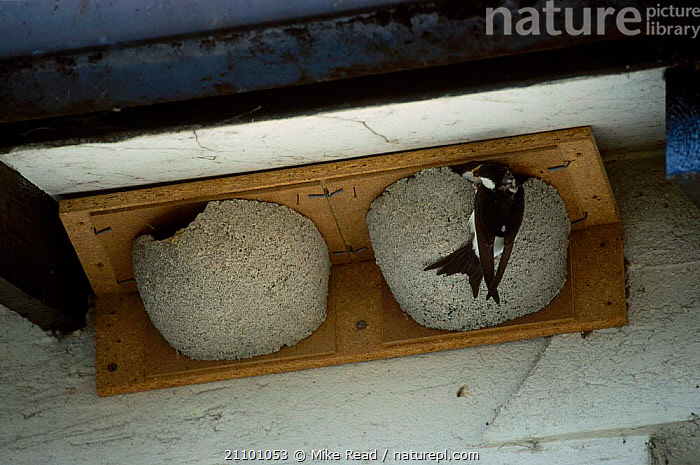 House martin at nestbox {Delichon urbica} UK, MARTINS,BIRDS,BOX,EUROPE,NEST,BUILDINGS,TWO,BIRDS,NESTS,URBAN,ENGLAND,ROOF,SWALLOWS, Mike Read