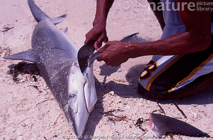 Fisherman removes fin of Grey reef shark {Carcharhinus ambly- rhynchos} Philippines, FISHING,BEACHES,TRADE,TRADITIONAL,ASIA,PEOPLE,FINS,FISH,SHARKS,FISHERIES, Fish, Jurgen Freund