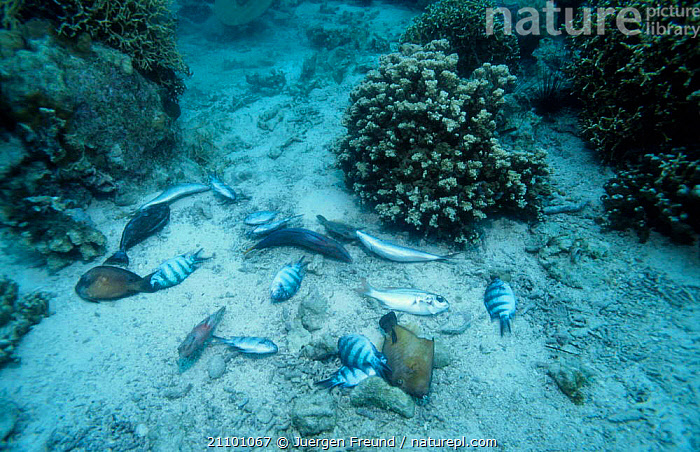 Dynamited reef fish on seabed Philippines 2000, LANDSCAPES,INDO,REEFS,CORAL REEFS,PACIFIC,FISHERIES,PACIFIC OCEAN,DYNAMITE,TROPICAL,CORAL,INDIAN OCEAN,INDO PACIFIC,DEATH,UNDERWATER,MARINE,SOUTH-EAST-ASIA,Asia, Jurgen Freund