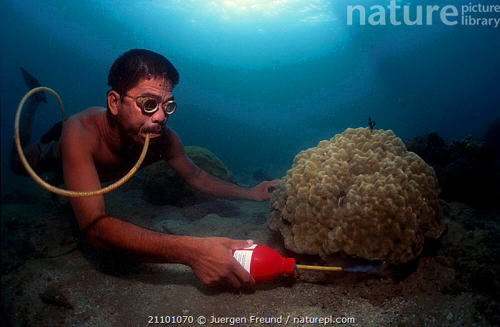 Fisherman sprays cyanide under coral to catch fish. Philippines 2000, FISH,INDO PACIFIC,PEOPLE,CORAL REEFS,DIVING,FISHERIES,INDIAN OCEAN,REEF,TROPICAL,PACIFIC OCEAN,DEATH,TRADITIONAL,UNDERWATER,REEFS,MARINE,SOUTH-EAST-ASIA,Asia, Jurgen Freund