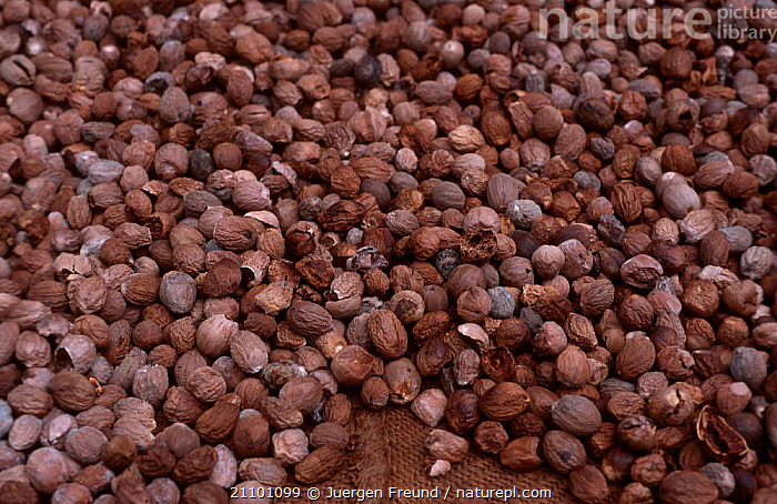 Dried nutmeg {Myristica fragrans} Sulawesi Indonesia Sangihe talaud islands, EDIBLE,SOUTH EAST ASIA,NUT,NUTS,SPICES,PLANTS,SPICE,ASIA,CROPS,TRADE, Jurgen Freund