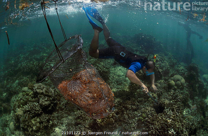 Snorkeler collecting Crown of thorns starfish {Acanthaster planci} Indo-pacific, FISHERIES,ECHINODERMS,SEASTAR,SNORKELING,TRADE,SOUTH EAST ASIA,ASIA,BASKET,PEOPLE,GROUPS,TRADITIONAL,SEASTARS,INVERTEBRATES,STARFISH, Starfish, Jurgen Freund