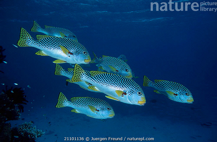 Lined sweetlips {Plectorhynchus lineatus} Indo-pacific, INDO,GROUPS,PACIFIC,FISH,INDIAN OCEAN,PACIFIC OCEAN,UNDERWATER,MARINE, Jurgen Freund