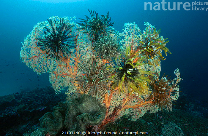 Featherstars on fan coral {Crinoidea} Indo-pacific, MIXED SPECIES,CORAL REEFS,INDIAN OCEAN,GROUPS,INVERTEBRATES,CRINOIDS,PACIFIC,TROPICAL,INDO,MIXED,PACIFIC OCEAN,MARINE,ECHINODERMS, Invertebrates, Jurgen Freund