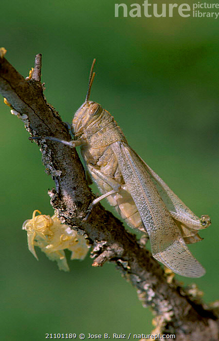 Migratory locust skin drying after moult {Locusta migratoria} Spain, INSECTS,GRASSHOPPER,ORTHOPTERA,EUROPE,SHEDDING,INSECT,MOULTING,LOCUSTS,INVERTEBRATES, Jose B. Ruiz