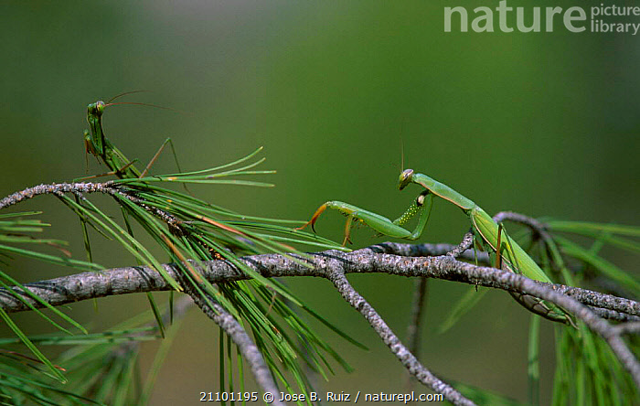 European praying mantis pair before mating. Spain. {Mantis religiosa} Sequence 1/6, INSECT,MALE FEMALE PAIR,MATING,BEHAVIOUR,ORTHOPTERA,EUROPE,FEMALES,REPRODUCTION,MALES,INSECTS,MALES,COPULATION,MATING BEHAVIOUR,FEMALES,SPAIN,EATS,INVERTEBRATES,MANTODEA, Jose B. Ruiz