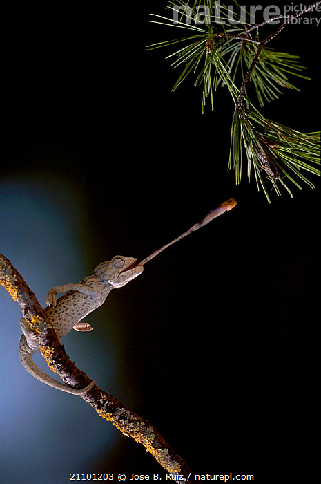 European chameleon feeding on grasshopper. Sequence 2/3. {Chamaeleo chamaeleon} Spain, EUROPE,PREDATION,REPTILES,GRASSHOPPER,REPTILES,CHAMELEONS,INSECT,INSECTS,TONGUES,BEHAVIOUR,INVERTEBRATES,LIZARDS, CHAMELEONS, Chameleons, Chameleons,Catalogue1, Jose B. Ruiz